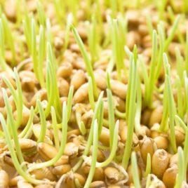 Проростки пшеницы 100г